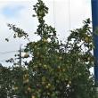 レモンの木???