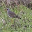 北印旛沼探鳥(チュウヒ、ノビタキ他)