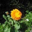 春はこの色 キンセンカの花