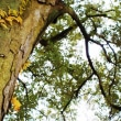 イチイガシの巨樹3