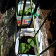 フダンソウ復調して、てんこ盛り収穫