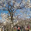 茨城県水戸市の偕楽園2018年の春・・梅は約5分咲き