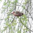 ヤナギの木に登って来たよ、ベニマシコ。