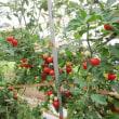 台風の雨で割れたミニトマト。
