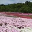 5月12日から「芝桜まつり」