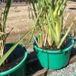 マコモ収穫 & ステイックブロッコリー・芽キャベツ移植