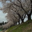 「散り始めの桜」木島平