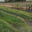 maco10 ギリギリ イチゴ植え