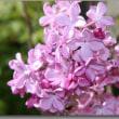 「庭の春」