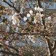 三郷市内一番早いソメイヨシノ満開の木は