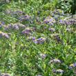 道後山周辺の植物(3)