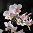 自宅の花 ライラック、サラサドウダンなど