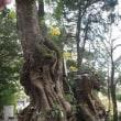 来宮神社の大クス 静岡県熱海市