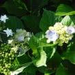 アジサイメイン ダリアに花芽 本日の我が家の花