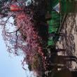 桜の季節だ!