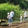 黒ゴマ収穫