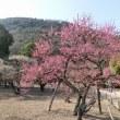 栗林公園の梅を見に行きました