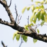 枝の上で、くるりと向きを変えた、コサメビタキ。