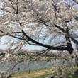 こちらは宮城県南大河原の一目千本桜