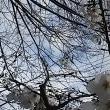 ソメイヨシノを見逃さないで~(2)(久保神社のサクラ)