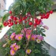 センリョウとマンリョウの花が咲きました