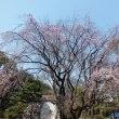 六義園のしだれ桜と旧古河邸