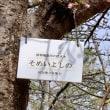 高知市で桜開花