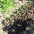 今日の畑作業「土寄せ」