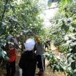 3年生のプルーン収穫体験