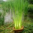 原生日本とは、真菰や葭が小石原に茂って居る所だったようです