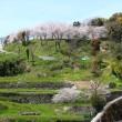 日野江城跡本丸の満開の桜