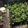 あちこちに<キンギョソウを植える(2)>