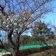 公園の梅の花ちらほら~~~(^^♪