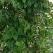 収穫 キュウリ・オクラ・秋ナス開始  ムカゴ今年は小粒