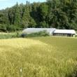 自然菜園スクール「ぬかるみ対策の稲刈り」