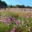 昭和記念公園コスモスの丘