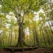 十和田市奥瀬幌内山国有林 日本一のブナの木 風景写真/ Sony α7RⅡ