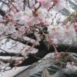 御池桜の頃