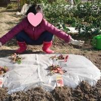 畑、苺の植え付け