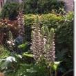 アカンサスモリスの花