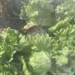 ミックスサラダの種を大きく育てると