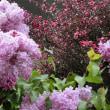 雨情lilac