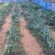 ウチの畑の台風21号被害