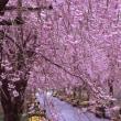 紅枝垂桜並木