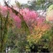 ハナノキ・ベニスモモ、(長居公園・大阪市)  11月