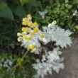 散歩で見た花。(タイマツバナ、アリウム、アガパンサス、シロタエギク他)