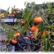 いよいよ本格的な秋の到来(^^♪鮮やかに色づいた栄養が豊富な「柿の実」
