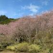 初御代桜 はつみよざくら つづき