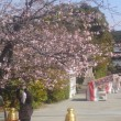 源平池畔の寒桜、ミモザ