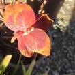 赤いネコヤナギの新芽